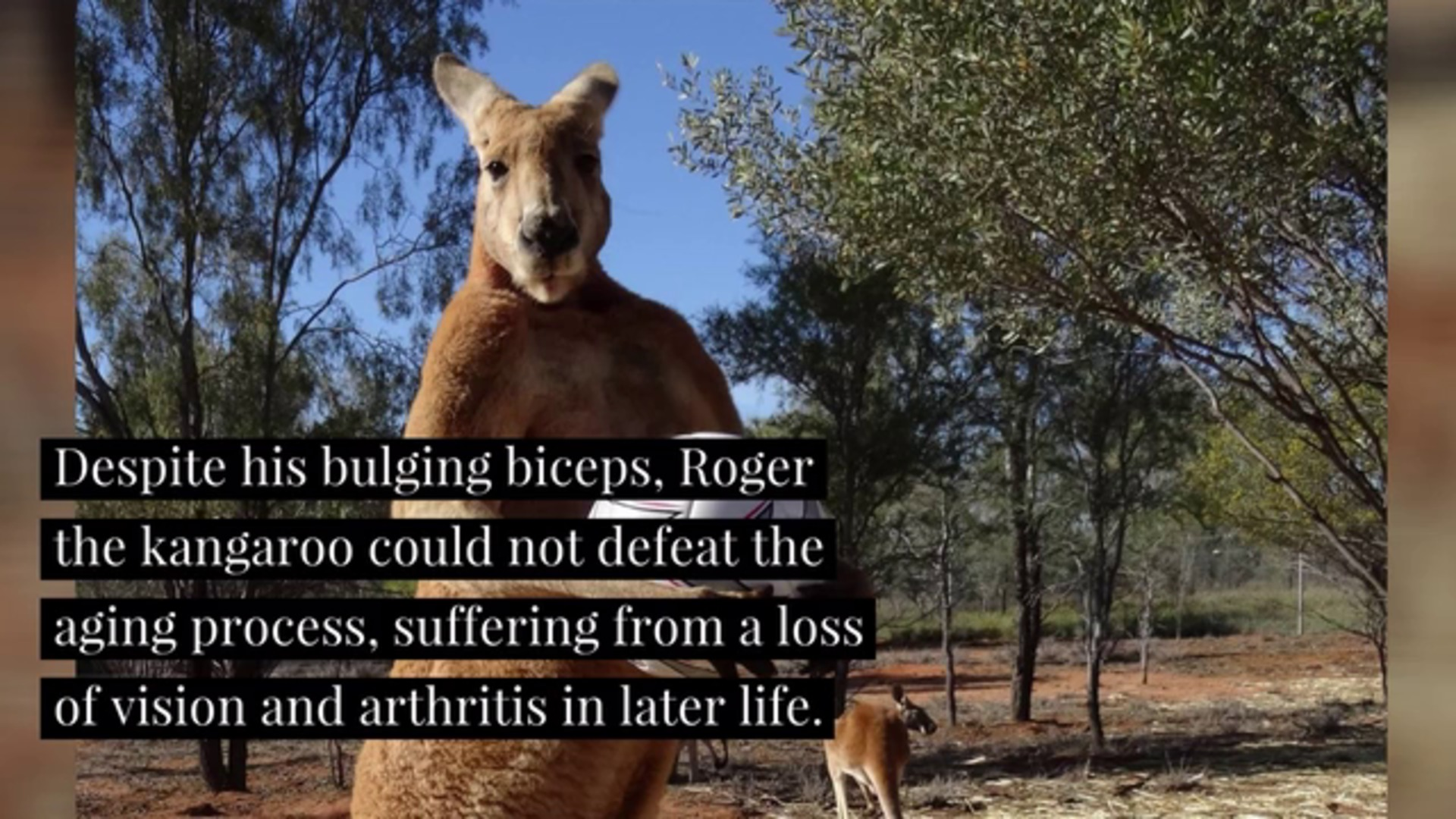 Roger The Buff Kangaroo Has Died